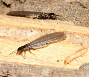 termite_1