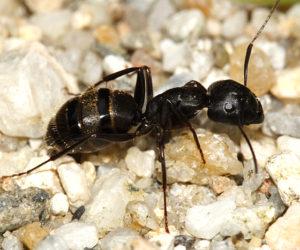 Capenter Ant